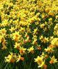 737532_daffodils.jpg