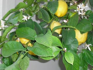 LemonBlossoms.jpg