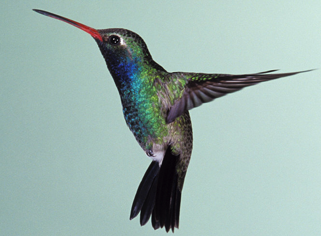 Small%20Hummingbird.png